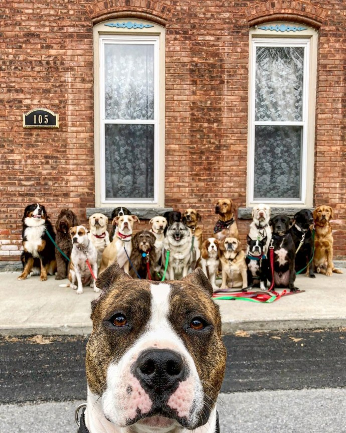 This image has an empty alt attribute; its file name is dog-walker-posts-photos-of-the-packs-he-walks-everyday-and-they-are-adorable-24.jpg